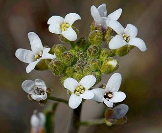 Sandbergia whitedii