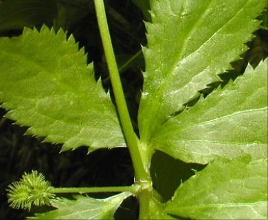 Sanicula canadensis