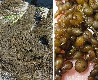 Sargassum muticum