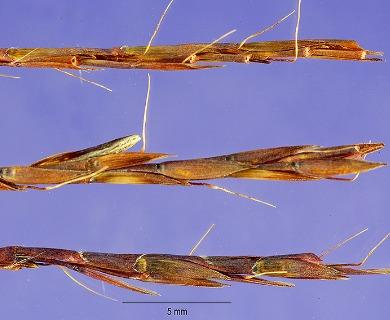 Schizachyrium tenerum