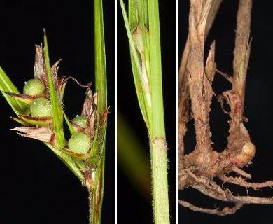 Scleria pauciflora
