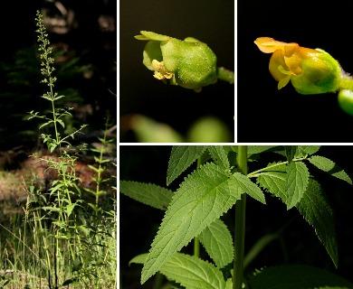 Scrophularia montana