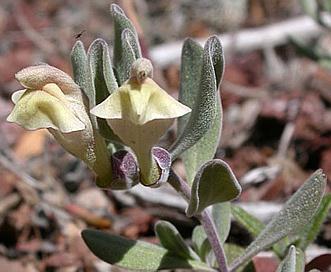Scutellaria nana