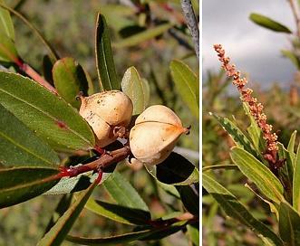 Sebastiania bilocularis
