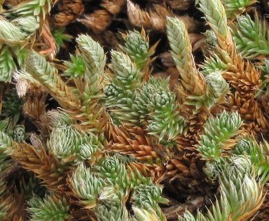 Selaginella peruviana