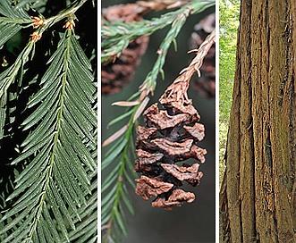 Sequoia sempervirens