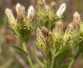 Sericocarpus rigidus