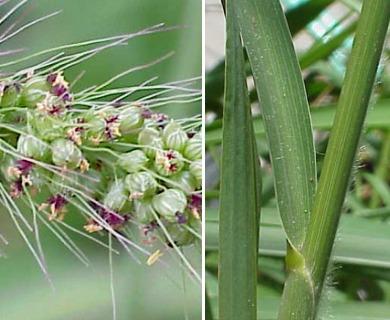 Setaria macrostachya