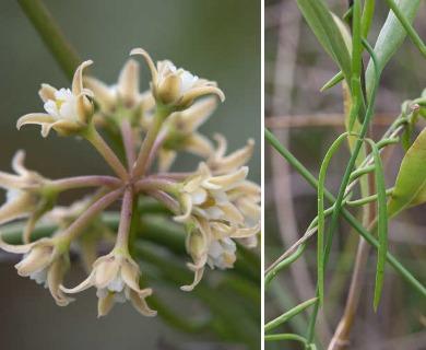 Seutera angustifolia