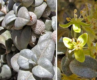 Shepherdia rotundifolia