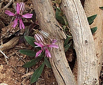 Silene petersonii