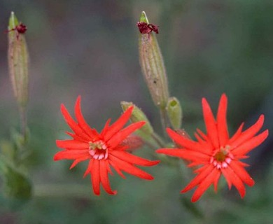 Silene rotundifolia