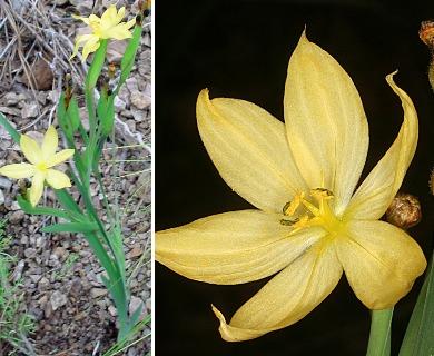 Sisyrinchium arizonicum