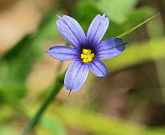 Sisyrinchium mucronatum