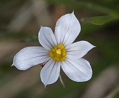 Sisyrinchium pallidum