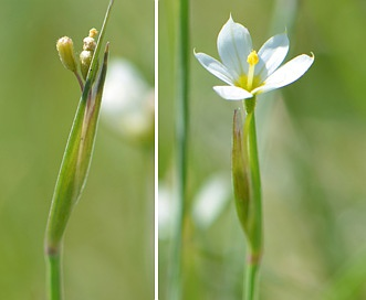 Sisyrinchium septentrionale