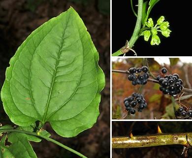 Smilax rotundifolia