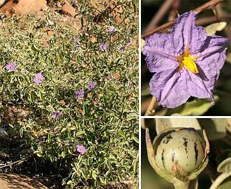 Solanum hindsianum