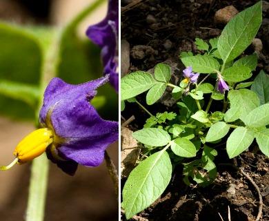 Solanum stoloniferum