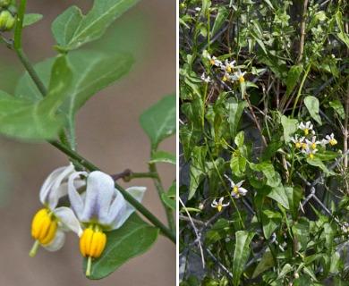 Solanum triquetrum