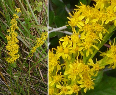 Solidago pinetorum