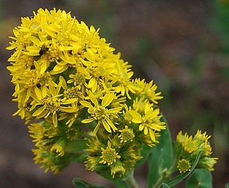 Solidago wrightii