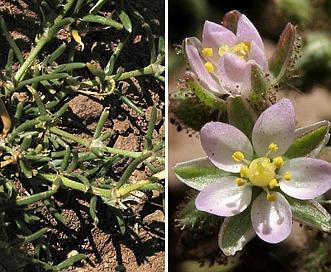 Spergularia bocconi