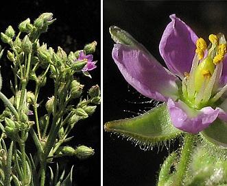 Spergularia macrotheca