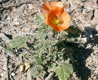 Sphaeralcea coulteri