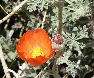 Sphaeralcea grossulariifolia