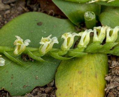 Spiranthes brevilabris