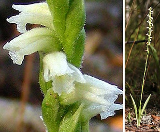 Spiranthes casei