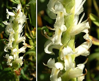 Spiranthes diluvialis
