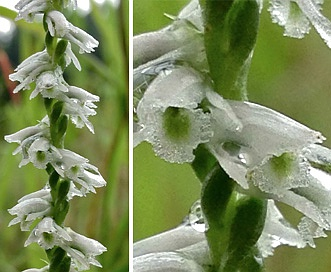 Spiranthes lacera