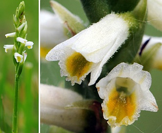 Spiranthes lucida