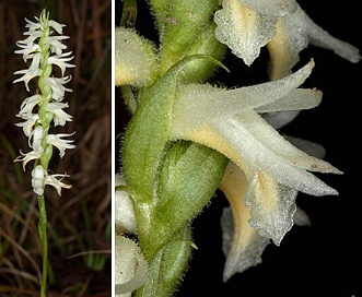 Spiranthes magnicamporum