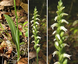 Spiranthes ovalis