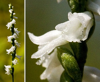 Spiranthes tuberosa