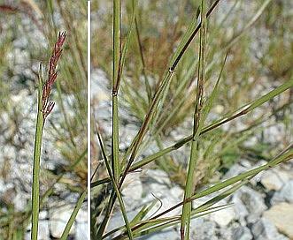 Sporobolus neglectus