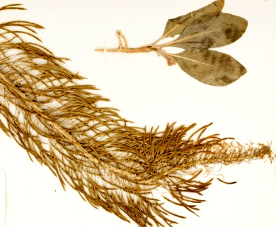 Stanleya confertiflora