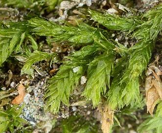 Steerecleus serrulatus