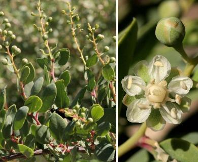 Stegnosperma halimifolium