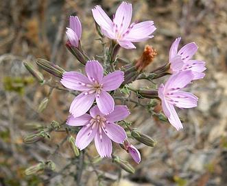 Stephanomeria exigua