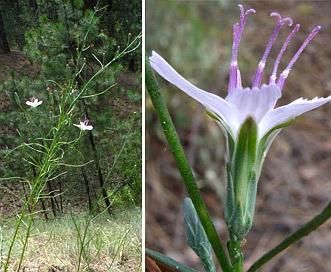 Stephanomeria paniculata