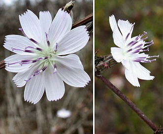 Stephanomeria parryi