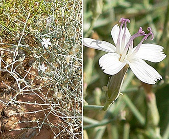 Stephanomeria pauciflora