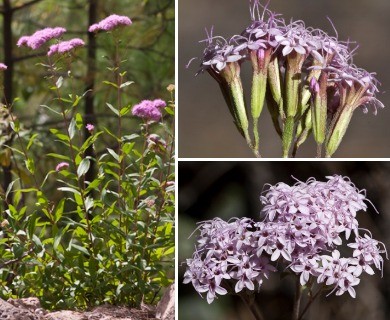Stevia plummerae