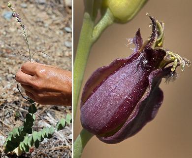 Streptanthus barbatus