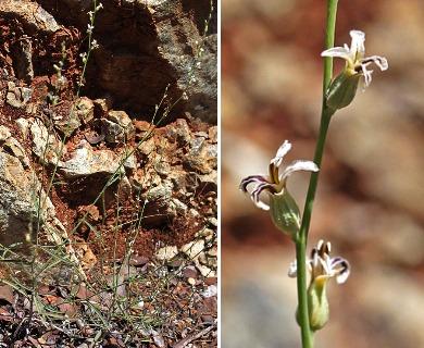 Streptanthus barbiger