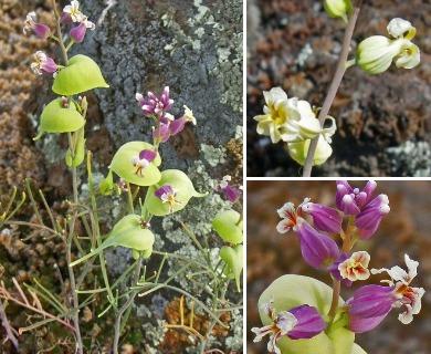 Streptanthus diversifolius